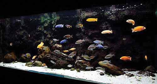 Setting up a lake malawi cichlid aquarium the fishkeeper for Lake malawi fish