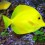 The Yellow Tang: Aquarium Care