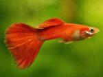 guppy beautiful freshwater aquarrium fish