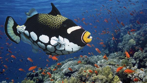 Clown Triggerfish - East Africa