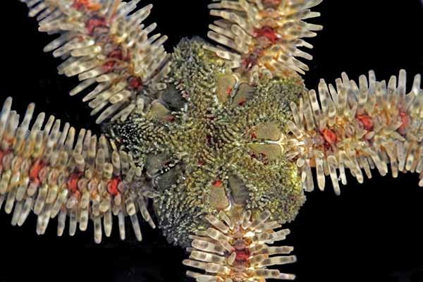 Brittle Star (Ophiothrix rudis). Estero Bluffs State Park. Near Cayucos, San Luis Obispo Co., Calif. San Luis Obispo Co., Calif.