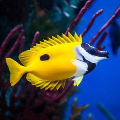 Foxface Rabbitfish. Oh, the names we come up with for fish! The common name of this species of fish describes them quite well, as they have a distinctly elongated snout resembling the pointed snout of a fox.