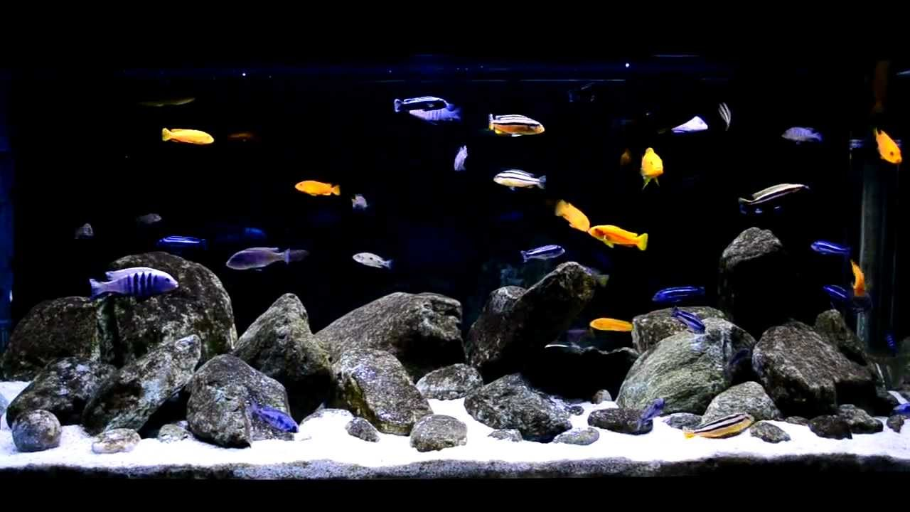 Recent observations have also suggested that some health problems can occur in hard water fish like Malawi cichlids when they are fed live foods raised in acidic conditions, such as bloodworm.