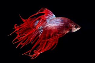 Some fish, such as the Siamese Fighting Fish (Betta splendens), seem to even prefer smaller aquariums, although this is more likely to be to do with a dislike of open spaces or busy communities.